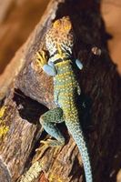 Comment identifier Arizona Collared Lézards
