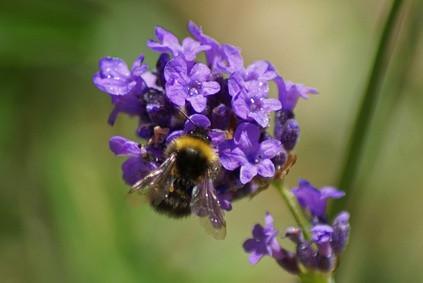 Types d'abeilles, guêpes et frelons