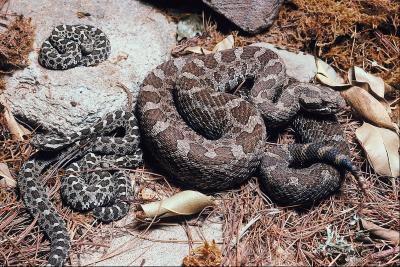 Comment Hunt Rattlesnakes à Wenatchee, Washington