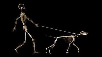 Le Système Squelettique des mammifères