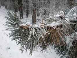Description Pine Trees