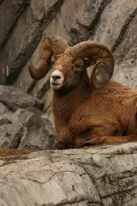 Comment la peau d'un mouton pour Taxidermie