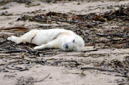 Habitat de phoques gris