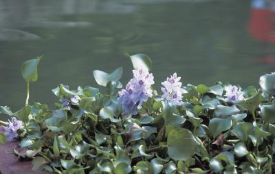 Plantes avec des fleurs qui vivent dans l'eau
