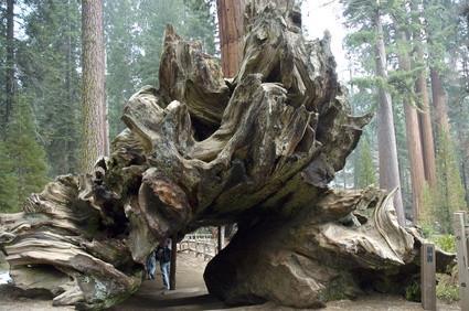 Fungus dans Redwoods