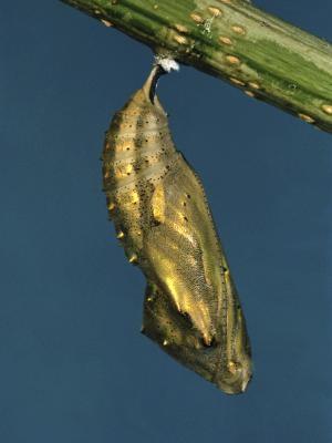 Comment identifier un papillon Cocoon