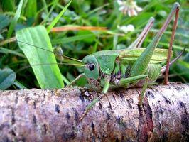 Quelles sont les caractéristiques des Grasshoppers?