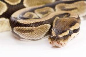 Différences entre un Boa, Python, et Anaconda