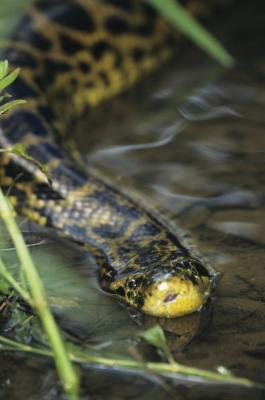 L'étude de la Anacondas