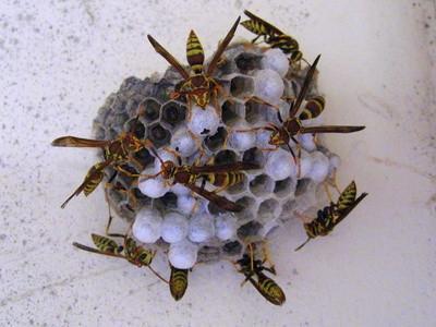 Types de Nids Wasps de