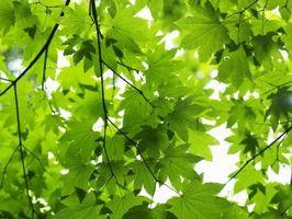 Que Cellular Organelles sont responsables de la photosynthèse des plantes vertes?