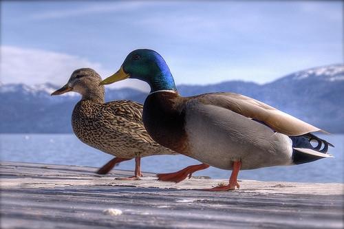 Bird & contrôle de canard