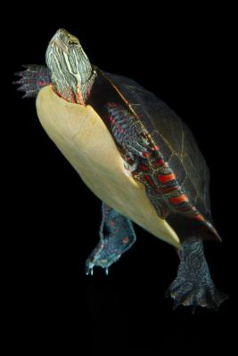 Comment Disséquer système excréteur d'une tortue