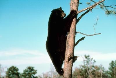 Les effets de l'alimentation supplémentaire sur les ours noirs