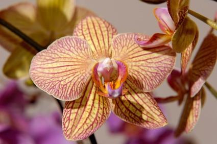 Comment Distribuez polliniser Sogo Orchidées