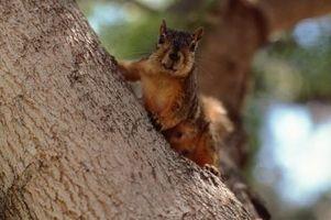 Habitats de Fox Squirrels