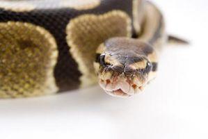 Faits sur billes Python Snakes