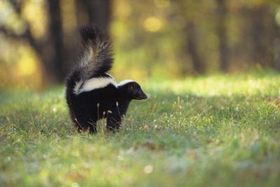 Comment faire pour supprimer l'odeur Skunk Du Porche