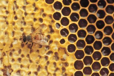 Honey Bee & utilisations anciennes