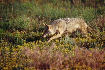 Comment se débarrasser des Coyotes