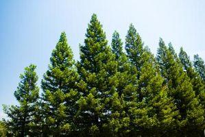 Comment recueillir Pollen Pine Tree