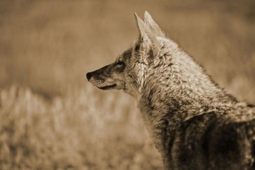 Comment Hunt Coyotes en Géorgie