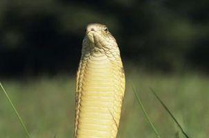 Faits du cycle de vie pour le roi Cobras