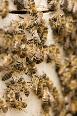Les caractéristiques des Killer Bees