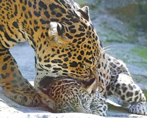 Comment puis-Jaguars soins pour leurs bébés?