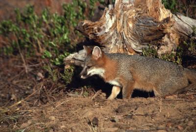 Piégeage Techniques pour un renard gris