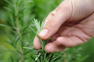Comment faire cuire avec Rosemary