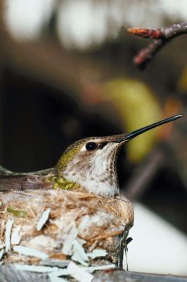 Types de colibris qui se trouvent dans l'Indiana du nord