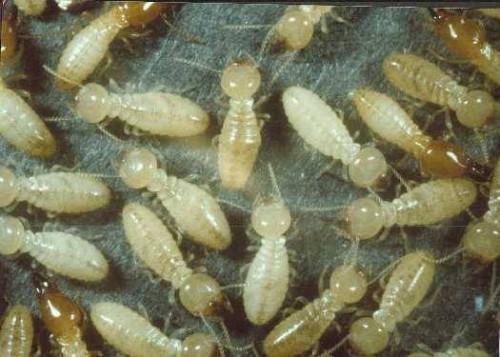 Qu'est-ce que Termites Look Like?