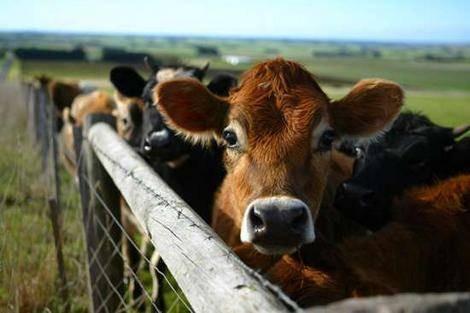 Traitement Lice pour les bovins