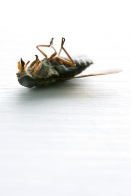 Comment tuer les mouches Greenhead