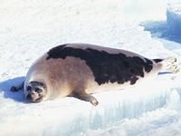Informations sur les phoques du Groenland