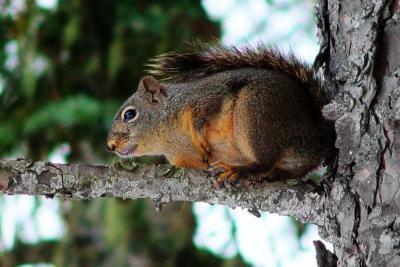 Classification des Écureuils et Chipmunks