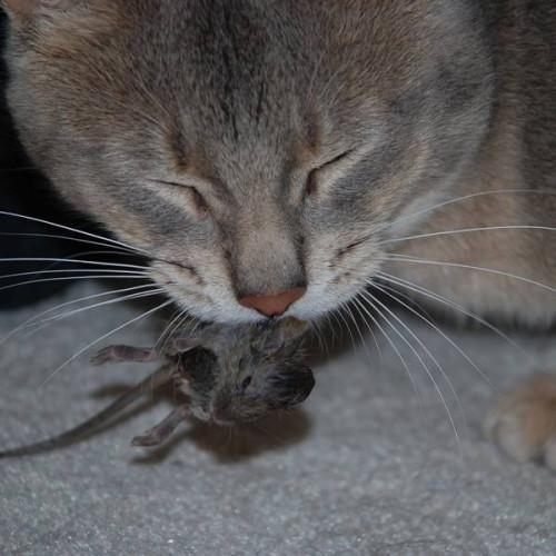 Pourquoi Souris Do Cats Chase?