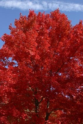 A propos de Red Oak Trees