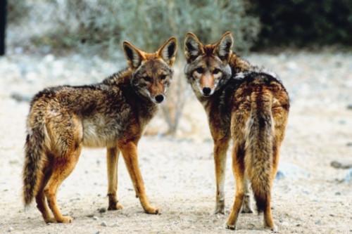 Floride Coyotes Faits