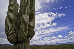 Plantes indigènes dans le sud de l'Arizona