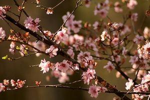 Longévité d'une floraison Crab Apple Tree