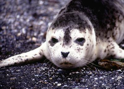 Faits sur les phoques de Weddell
