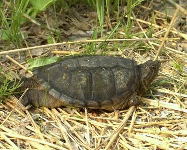 Bébé tortues serpentines Diet