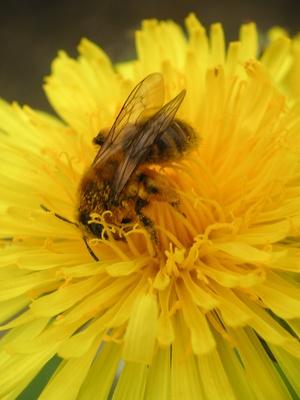 Quelles sont les étapes du développement de l'abeille?