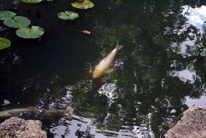 Comment Choc d'un étang pour déterminer la quantité de poisson