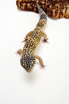 Liste des Geckos