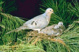 Comment savoir quel âge une colombe de deuil est?