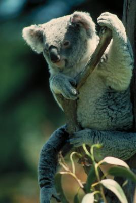 Les huit niveaux de classification pour Koala Bears
