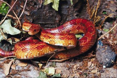 Est Albino Corn Snakes Venomous?